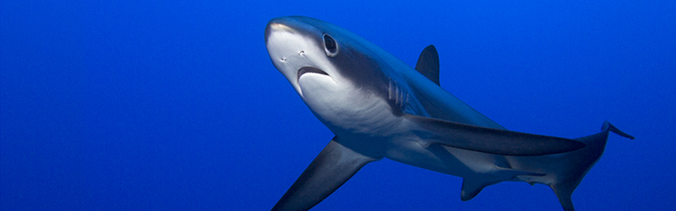 Pelagic Thresher Shark
